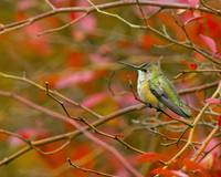 Rufus Hummingbird in Bush with Red Leaves