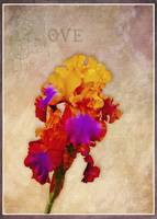 Loving Iris with Border