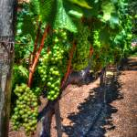 """Grape Vine"" by snapshotsmity"