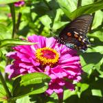"""Pipevine Swallowtail"" by hannahsview"