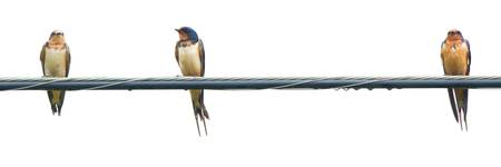 Barn Swallow Family on a Cable