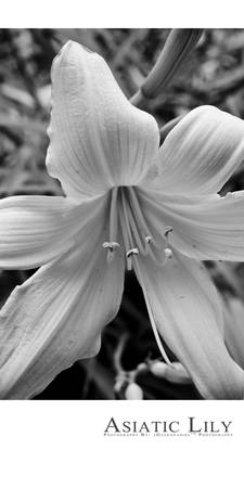 Asiatic Lily Titled