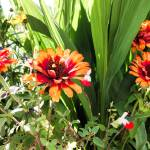 """Orange Coneflowers"" by robertmeyerslussier"