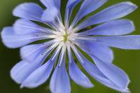 Blue Purple Chicory Flower