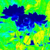 Vivid Blue Roses of Texas