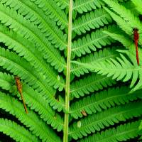 Two_Dragonflies_On_Ferns_IMG_0972_a_3__ Art Prints & Posters by Mike Solomonson