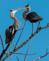 Great Blue Herons with Mating Display