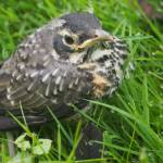 """Baby Robin After First Fllght"" by FingerLakesPhotos"