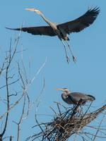 Great Blue Heron Flying from Nest