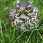 """Defiant Baby Robin in the Dew Drop Grass"" by FingerLakesPhotos"