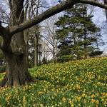 """""""Daffodil Hill"""" by PaulCoco"""