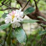 """""""Rhododendron"""" by Littlepig"""