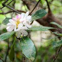 Rhododendron Art Prints & Posters by Cheryl Burke