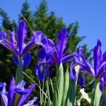 """Botanical Flora Garden art prints Purple Irises"" by BasleeTroutman"