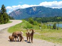 Wildlife Of Big Sky Country - Bighorn Sheep