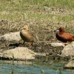 """Pair of Cinnamon Teal P1150254"" by rayjacque"