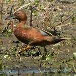 """Male Cinnamon Teal P1150264"" by rayjacque"