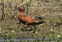 Male Cinnamon Teal P1150264