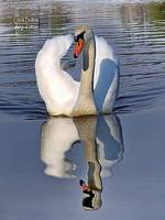 © CBp Swan Reflections