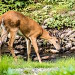 """Whitetail Deer-Thirsty"" by JZaringPhoto"