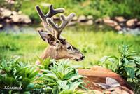 Whitetail Deer-Majestic