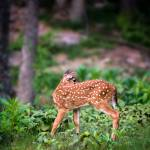 """Whitetail Deer Lookback"" by JZaringPhoto"