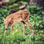 """Whitetail Deer-Little One (3)"" by JZaringPhoto"