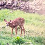 """Whitetail Deer-Little One (4)"" by JZaringPhoto"