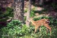 Whitetail Deer-Little One (2)