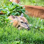 """Whitetail Deer-Get Some Rest (3)"" by JZaringPhoto"