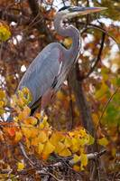 Great Blue Heron with Fall Colors