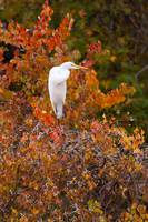 Great Egret with Fall Colors