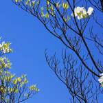 """Blue Sky Art Prints Dogwood Tree Branches Flowers"" by BasleeTroutman"
