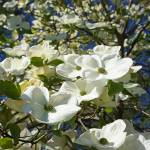"""""""DogwoodTree Flower Blossoms Art Prints Spring"""" by BasleeTroutman"""