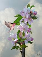 Finches in Blooming Apple Tree