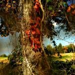 Druid Oak