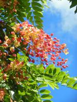 Rainbow Shower Tree
