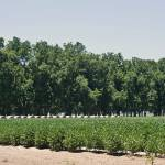 """Keo Pecan Orchard, Hay and Soybean Field"" by picturesbybgale"