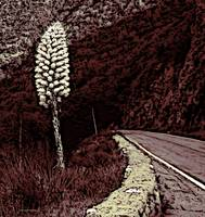Yucca by Highway 39