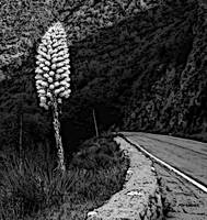 Yucca By Highway 39 (black & white)