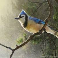 """early bird blue jay"" by rchristophervest"