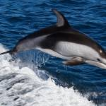"""Striped Dolphin Riding Wake"" by netbrands"