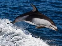 Striped Dolphin Riding Wake