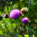 """Pink Thistle Study 1"" by robertmeyerslussier"