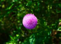 Pink Thistle Study 2