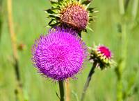 Pink Thistle Study 3