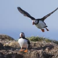Puffin Art Prints & Posters by Michael Zahra Nature Photography