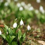 """Snowdrops"" by cotswoldphotogallery"