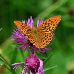 """Silverwashed Fritillary Butterfly"" by cotswoldphotogallery"