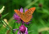 Silverwashed Fritillary Butterfly